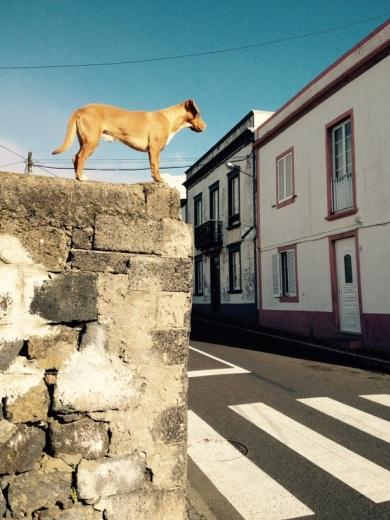 azoren hund